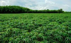 IFAD-VCDP programme contributes 653,843 metric tons of cassava to Nigeria's food security